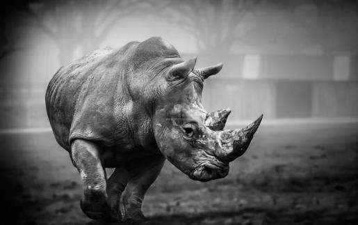 Long Leat England Fauna Photography Rhino Charging Black And White